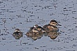 Duck-Ruddy-31-FJBergquist.jpg