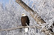 Eagle-Bald-03-FJBergquist.jpg