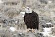 Eagle-Bald-19-FJBergquist.jpg