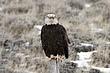 Eagle-Bald-20-FJBergquist.jpg
