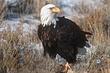 Eagle-Bald-22-FJBergquist.jpg