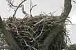 Eagle-Bald-30-FJBergquist.jpg