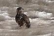 Eagle-Bald-34-FJBergquist.jpg