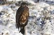 Eagle-Bald-37-FJBergquist.jpg