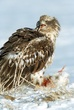 Eagle-Bald-41-FJBergquist.jpg