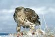 Eagle-Bald-43-FJBergquist.jpg