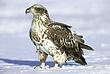 Eagle-Bald-44-FJBergquist.jpg