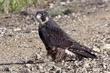 Falcon-Peregrine-01-FJBergquist.jpg