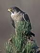 Falcon-Peregrine-03-FJBergquist.jpg