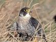 Falcon-Peregrine-04-FJBergquist.jpg
