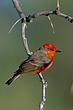 Flycatcher Vermillion-002-FJBergquist.jpg