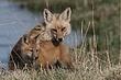 Fox-Red-001-FJBergquist.jpg