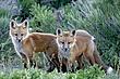 Fox-Red-015-FJBergquist.jpg