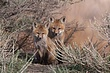 Fox-Red-030-FJBergquist.jpg