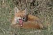 Fox-Red-041-FJBergquist.jpg