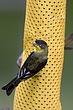 Goldfinch-Lesser-08-FJBergquist.jpg