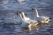 Goose-Snow-16-FJBergquist.jpg