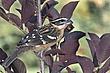 Grosbeak-Black-headed-25-FJBergquist.jpg