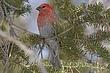 Grosbeak-Pine-14-FJBergquist.jpg