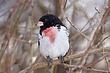 Grosbeak-Rose-breasted--32-FJBergquist.jpg