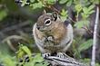 Ground-Squirrel-Golden-mantledl-001-FJBergquist.jpg