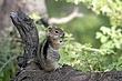 Ground-Squirrel-Golden-mantledl-005-FJBergquist.jpg