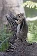 Ground-Squirrel-Golden-mantledl-006-FJBergquist.jpg
