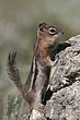 Ground-Squirrel-Golden-mantledl-008-FJBergquist.jpg