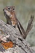 Ground-Squirrel-Golden-mantledl-014-FJBergquist.jpg