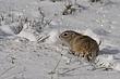 Ground-Squirrel-Wyoming-001-FJBergquist.jpg