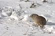 Ground-Squirrel-Wyoming-002-FJBergquist.jpg