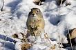 Ground-Squirrel-Wyoming-003-FJBergquist.jpg