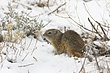 Ground-Squirrel-Wyoming-006-FJBergquist.jpg