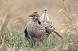 Grouse-sharp-tailed-002-FJBergquist.jpg