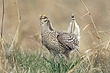 Grouse-sharp-tailed-005-FJBergquist.jpg