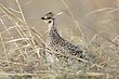 Grouse-sharp-tailed-006-FJBergquist.jpg