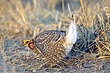 Grouse-sharp-tailed-013-FJBergquist.jpg