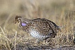 Grouse-sharp-tailed-014-FJBergquist.jpg