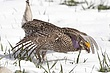 Grouse-sharp-tailed-017-FJBergquist.jpg