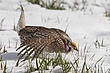 Grouse-sharp-tailed-022-FJBergquist.jpg