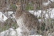 Grouse-sharp-tailed-025-FJBergquist.jpg