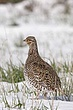 Grouse-sharp-tailed-027-FJBergquist.jpg