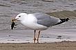 Gull-Ring-billed-004-FJBergquist.jpg