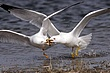 Gull-Ring-billed-010-FJBergquist.jpg