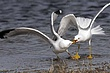 Gull-Ring-billed-011-FJBergquist.jpg