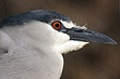 HERON BLACK-CROWNED NIGHT-001-FJBergquist.jpg
