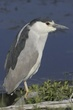HERON BLACK-CROWNED NIGHT-005-FJBergquist.jpg