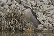 HERON BLACK-CROWNED NIGHT-023-FJBergquist.jpg