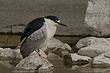 HERON BLACK-CROWNED NIGHT-024-FJBergquist.jpg