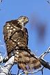Hawk-Coopers-02-FJBergquist.jpg